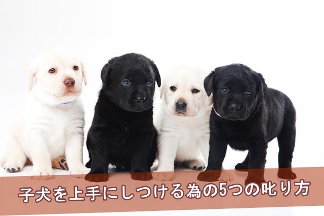 子犬を上手にしつける為の5つの叱り方