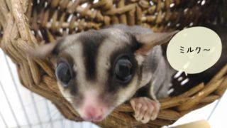 モモンガの繁殖と赤ちゃんの育て方